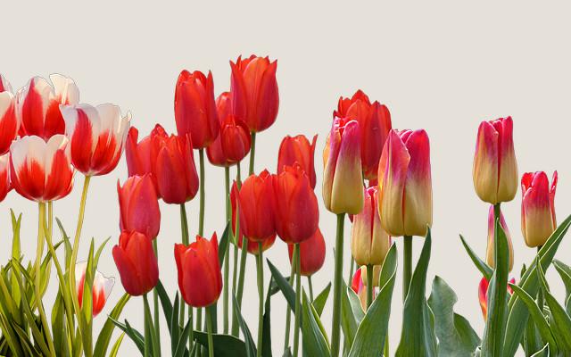 Tulpen und Rosen